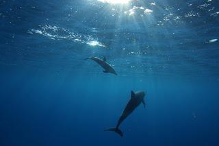 【ハワイ】イルカ・ウミガメと泳ぐ!私立イルカ中学に入学しました。
