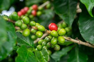 ハワイ コーヒー豆