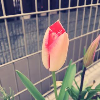 最小限主義の花、チューリップのミニマリズム。