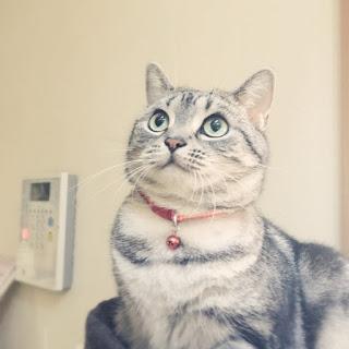 実家猫がんばってます。富山新聞・北國新聞に広告がでます。