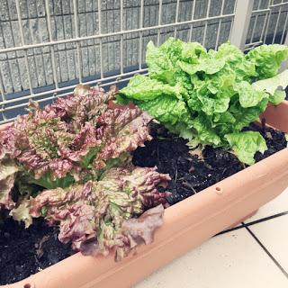 お弁当に役立つ、プランターでのサニーレタス栽培。