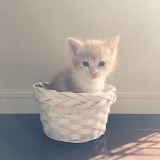 【猫と暮らす】新しい家族、我が家に仔猫がやってきた。