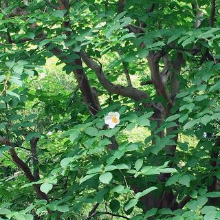 【妙心寺・東林院】沙羅の花を愛でる会、無常の美学。