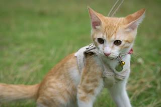 【猫と散歩】はじめてのハーネス