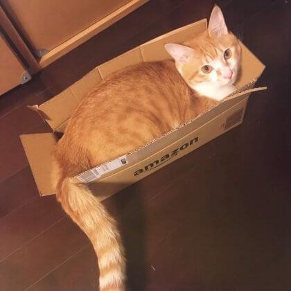 猫 アマゾン箱