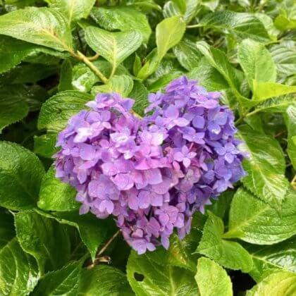紫陽花 ハート
